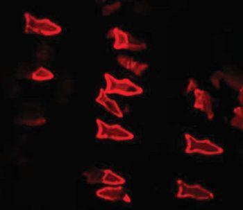 Un micropoisson artificiel pour détecter et neutraliser les toxines