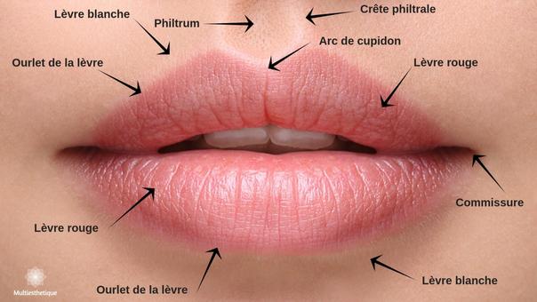 L'anatomie des lèvres