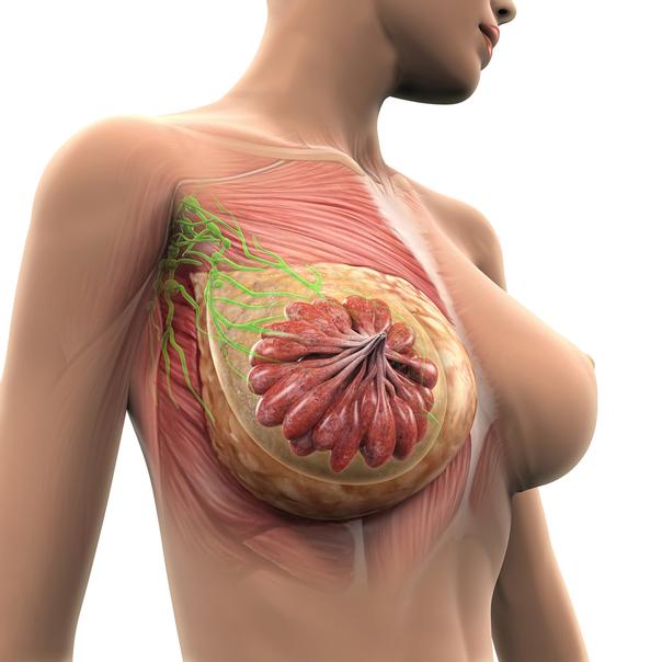 L'anatomie du sein